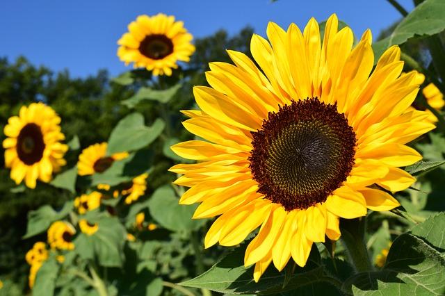 sunflower-1627193_640